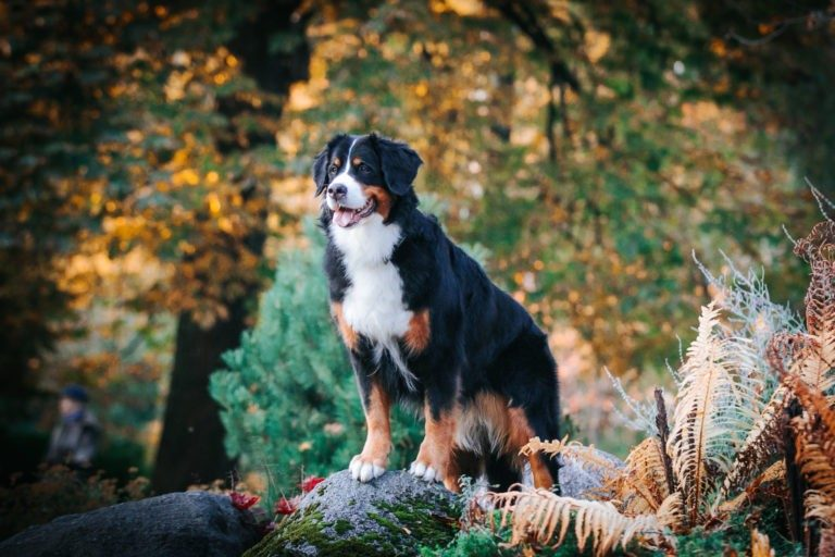 Bernese Mountain dog in a park by the About information